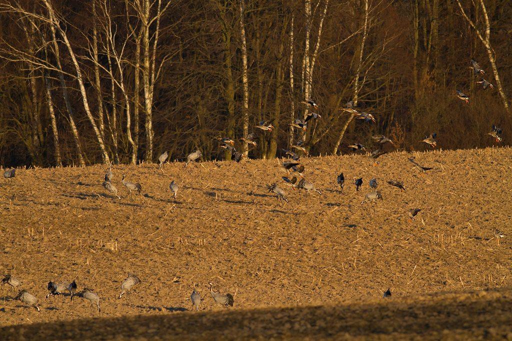 odstraszanie dzikich gęsi