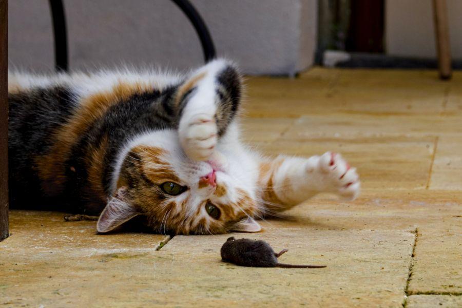 kot zjadł trutkę na myszy, szczury